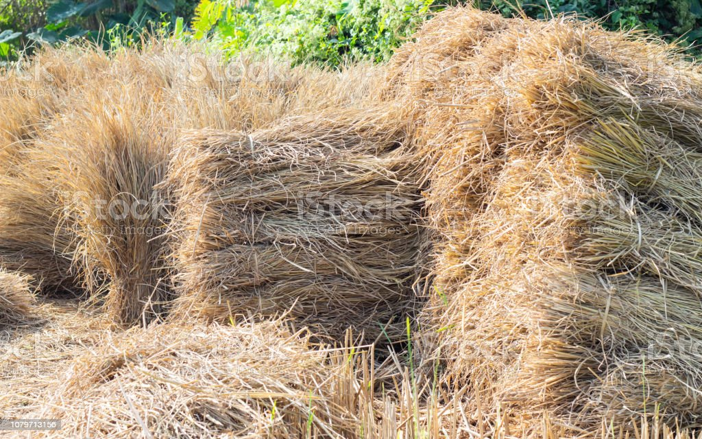 Dried rice straw bundle stock photo