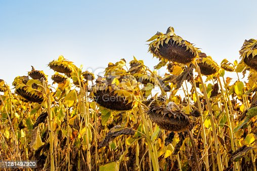 dried ripe sunflower heads, crops are waiting to be harvested