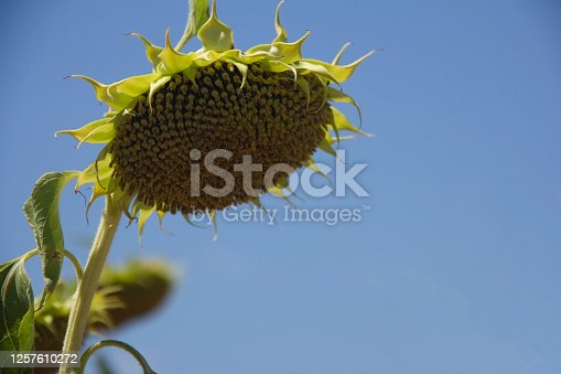 Dried Ripe Sunflower on a Sunflower Field, Waiting to Be Harvested