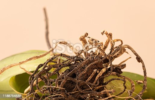 Dried roots of an orchid. How to transplant orchid Concept.