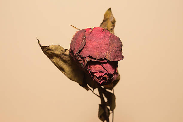dried rose flower - dead plant stock photos and pictures