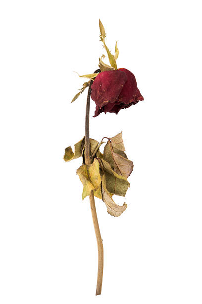 dried rose isolated on white background - dead plant stock photos and pictures