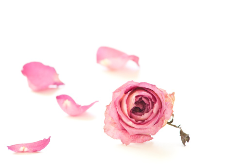 Dried rose isolated on white.