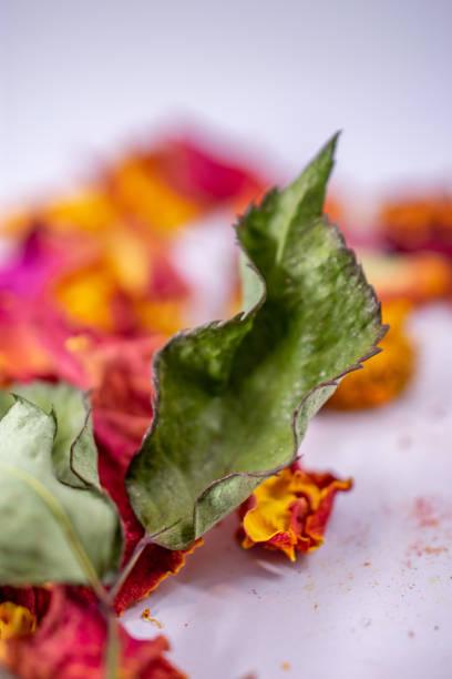 dried rose leaf stock photo