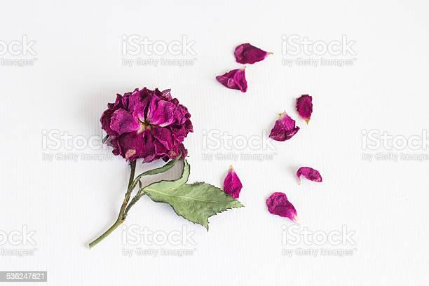 Dried rose on white paper picture id536247821?b=1&k=6&m=536247821&s=612x612&h=ihjdisqskzvbo5ewjkxhx9l4gj6 al izztqn4tjupu=