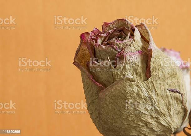 Dried rose picture id116850896?b=1&k=6&m=116850896&s=612x612&h=nozotixt1ztptkmhowhq8n8v7g47r kx2g5un6ebcrm=