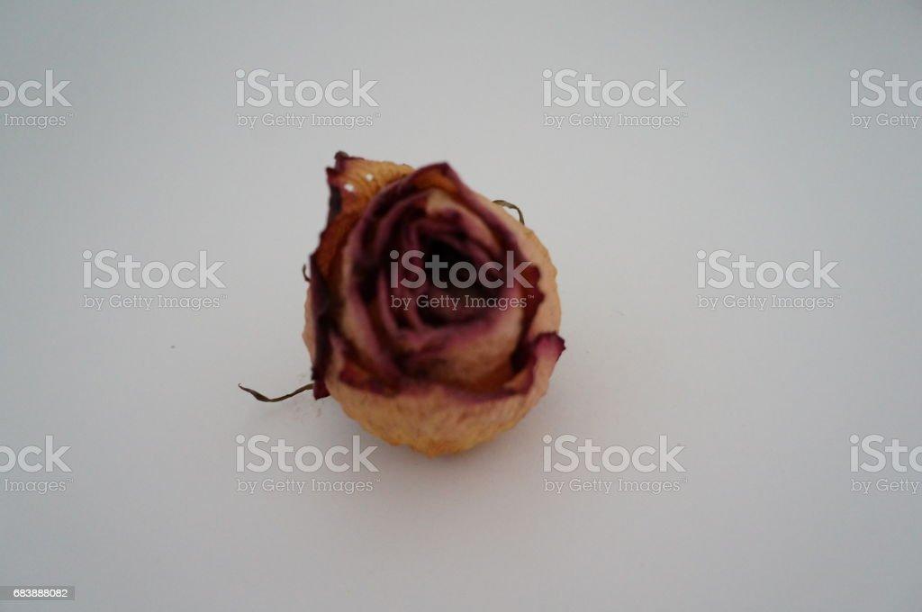 сушеная роза stock photo