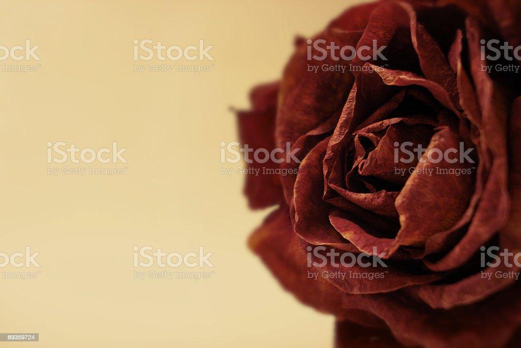 Rosa secca foto stock royalty-free