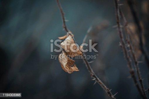 Dried rosehip leaf, spike, briar, eglantine, dog rose, rosehip, wild rose on dark blue background. Dry leaf on a branch with thorns in winter. A fading depressive landscape. Close up macro.