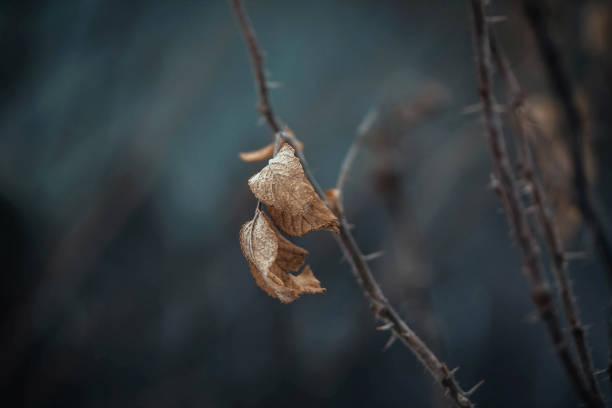 Dried rosehip leaf spike briar eglantine dog rose rosehip wild rose picture id1154003365?b=1&k=6&m=1154003365&s=612x612&w=0&h=vpbkt6q5r2aimqeqqwzdn6opto oxzpmurcvec3jwe8=