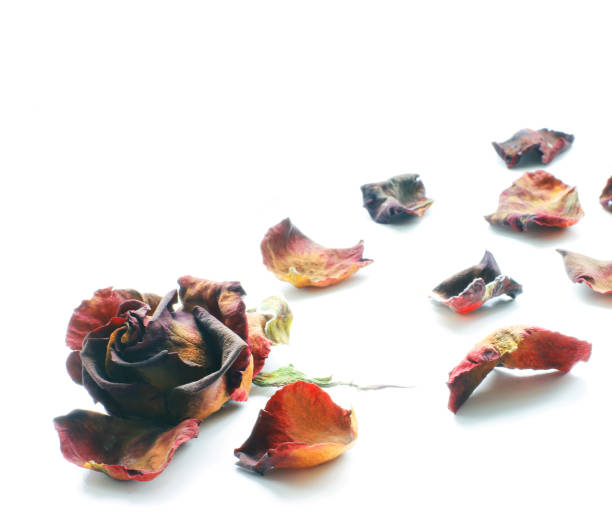 Dried roses on a white background. Rose petals stock photo