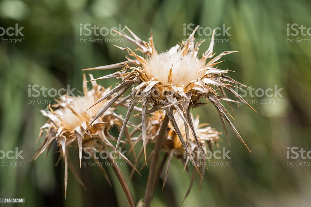 dried  silybum marianum flowers, blurred background stock photo