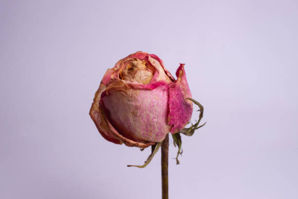 Dried small pink rose isolated on white background closeup view natur picture id1125758232?b=1&k=6&m=1125758232&s=612x612&w=0&h=67xj0b4apiq kd9codg5nmymbsq n9sblbcn6tw18ti=