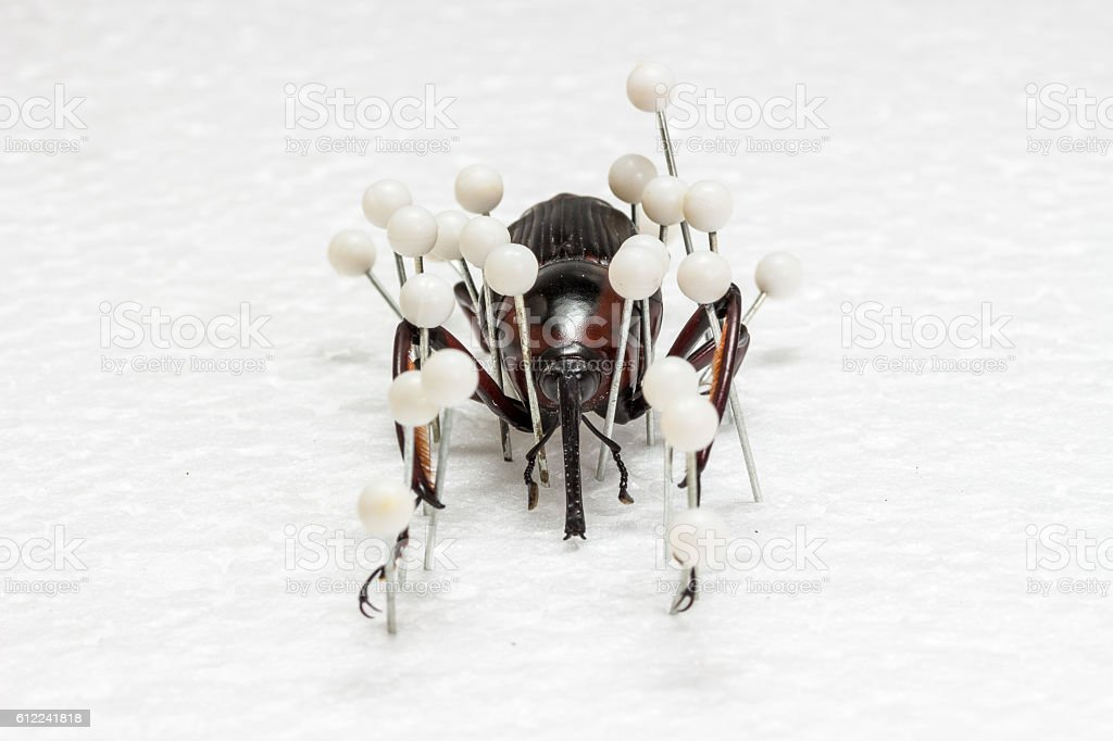 Dried Snout Beetle, Dry Preservation Snout Beetle stock photo
