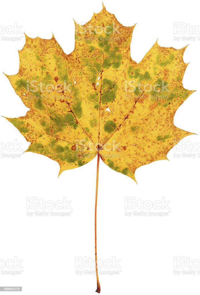 dried spotted maple leaf royalty-free stock photo
