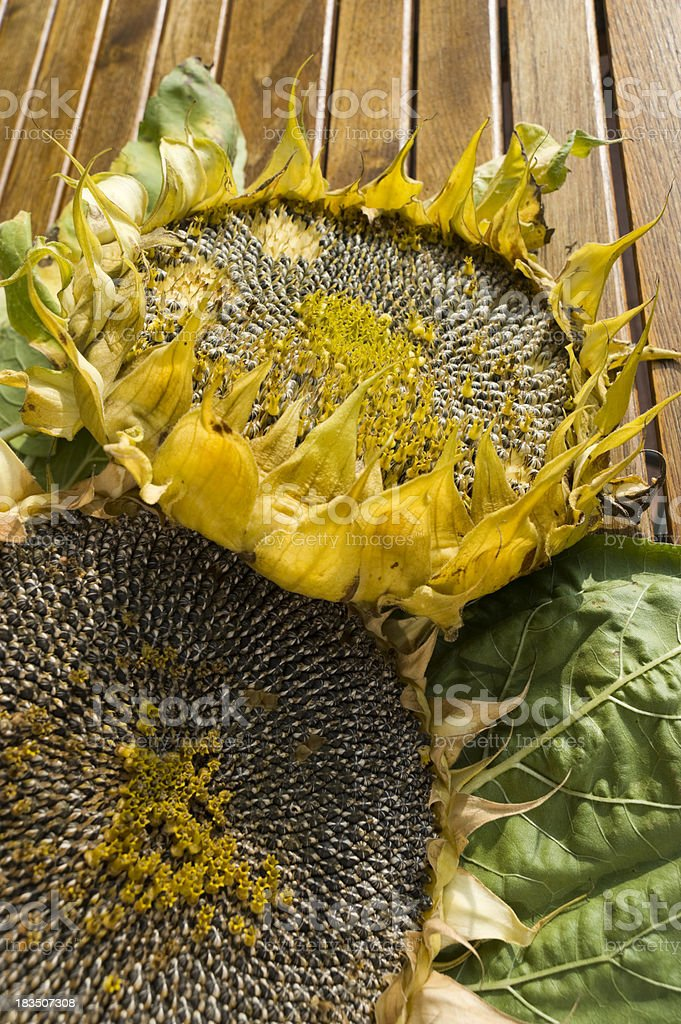 Dried Sunflower (Helianthus annuus) stock photo