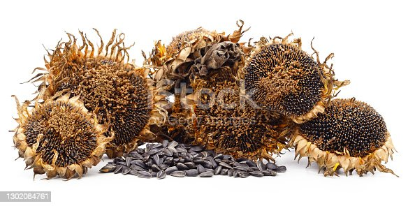 Dried sunflower with seeds isolated on a white background.