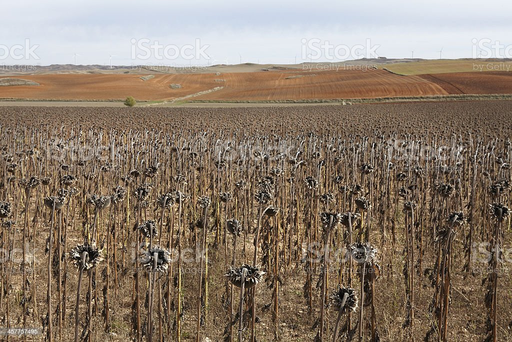 Dried sunflowers stock photo