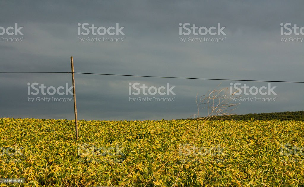 Dried Sunflowers stock photo