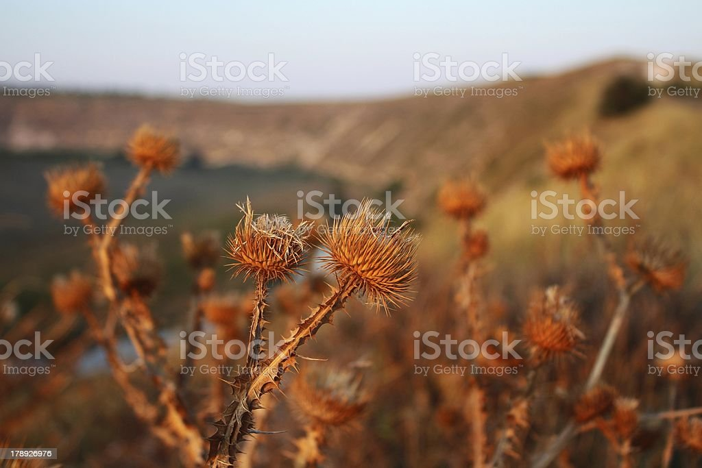 Dried thistle at sunset royalty-free stock photo