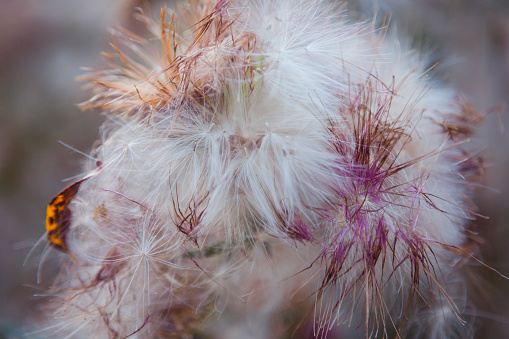 Dried thistle flower close-up.