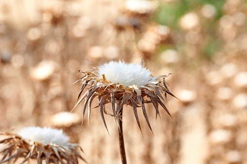 Dried thistle flowers, by the strong heat of summer in Spain, in the meadow