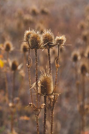 dried thorns in autumn