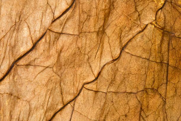 Dried tobacco leaf stock photo