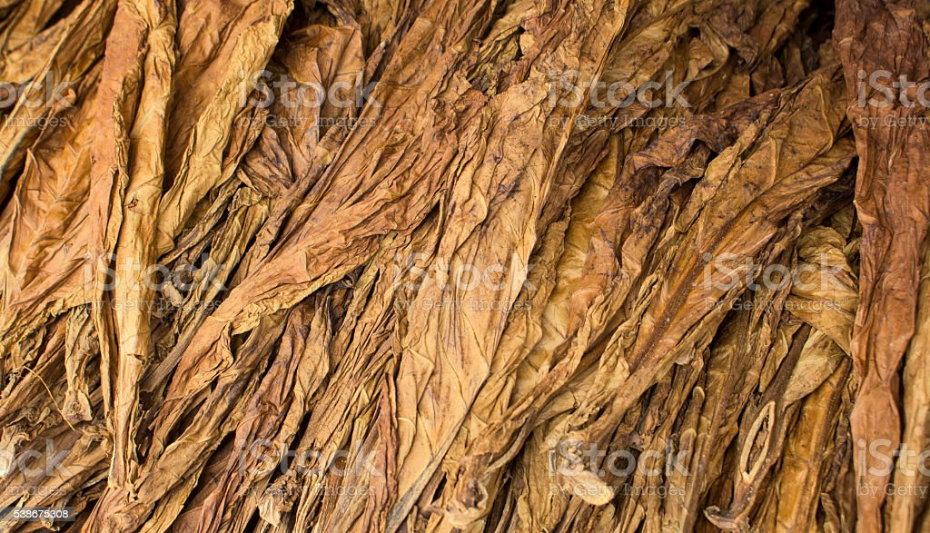 Dried tobacco leaves, tobacco leaf background stock photo