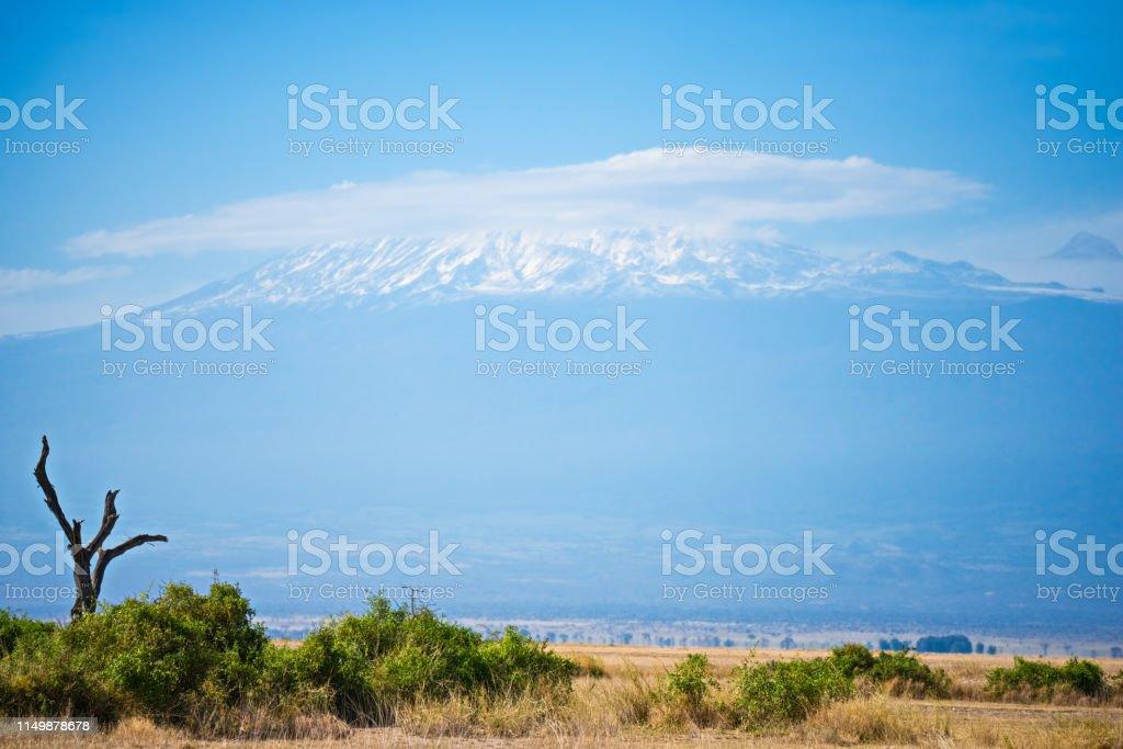 Dried tree and Kilimanjaro mount stock photo