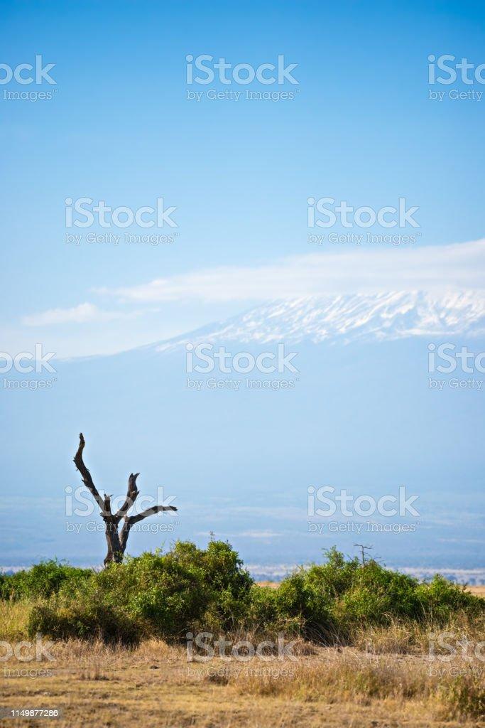 Dried tree and Kilimanjaro stock photo