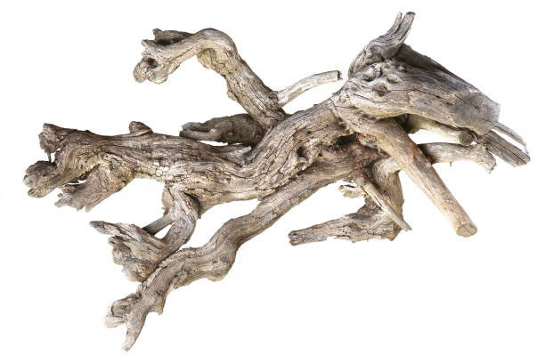 Dried tree root isolated on white background. Piece of old wood. Dried dead snag. driftwood stock pictures, royalty-free photos & images