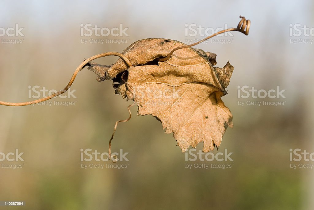 Dried vine leaf on a tendril royalty-free stock photo