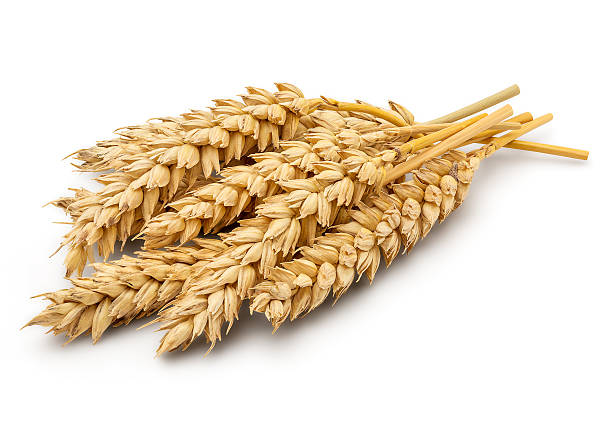 Dried Wheat Ear Perfect Cleaned Dried Wheat Ear Isolated on White Background in Full Depth of Field with Clipping Path. ear of wheat stock pictures, royalty-free photos & images
