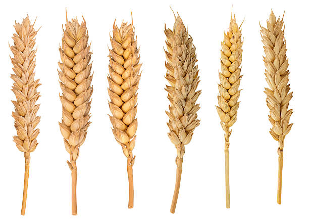 Dried Wheat Ear A set of some perfect dried wheat ear isolated on white background in full depth of field with clipping path. ear of wheat stock pictures, royalty-free photos & images