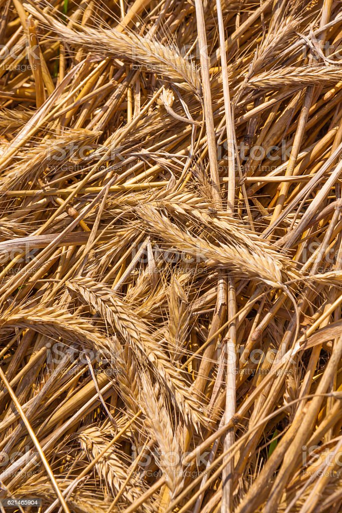 dried wheat on the floor stock photo