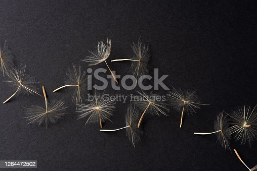 Dried white dandelion head on black background top view. Artistic flower still life