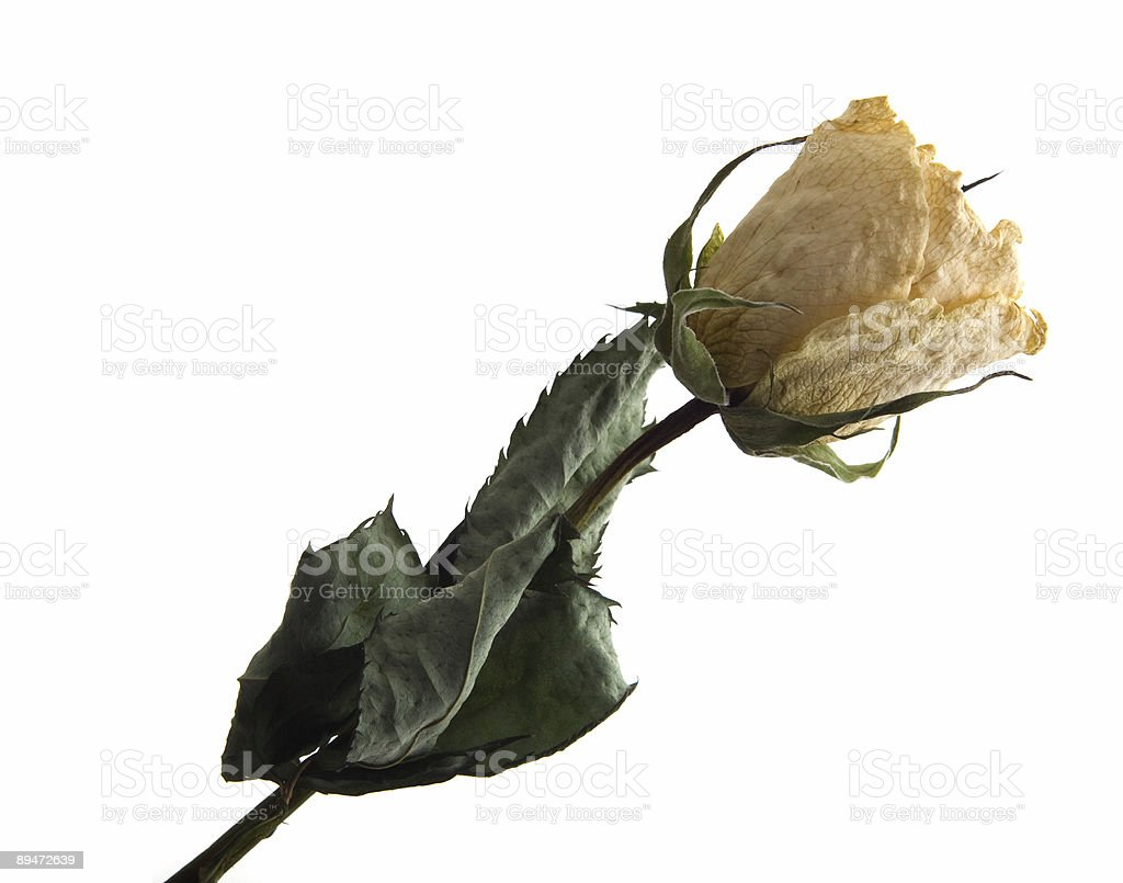 Dried white rose royalty free stockfoto