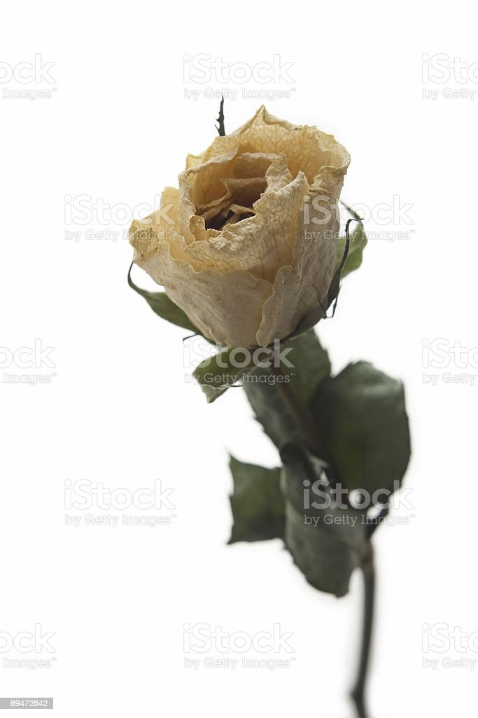 Dried white rose royalty-free stock photo