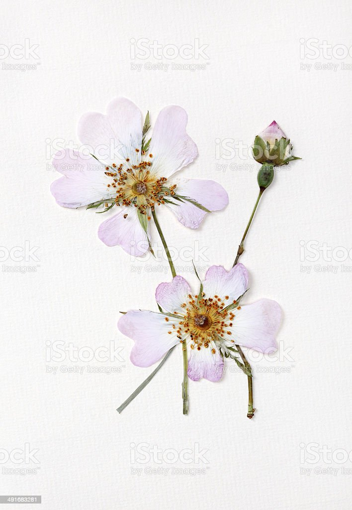 Dried Wild Roses stock photo