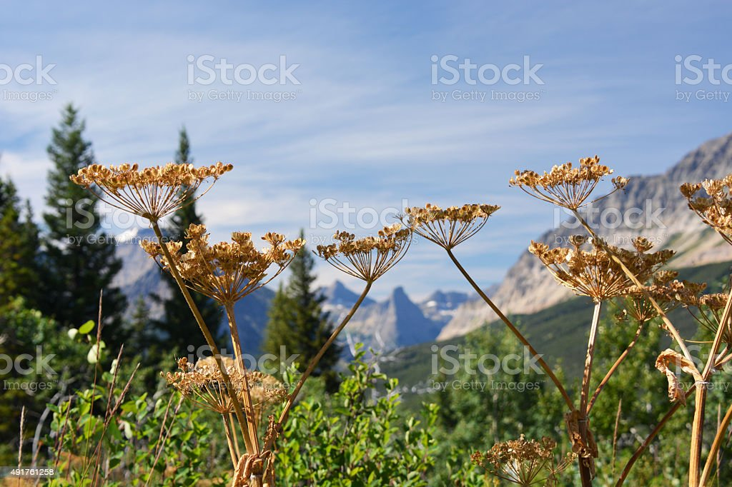 Dried Wildflowers on a Mountian stock photo
