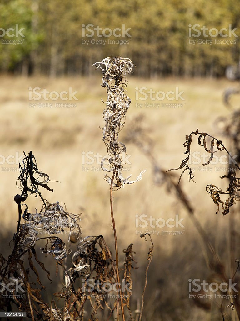 Dried willow-herb tea royalty-free stock photo