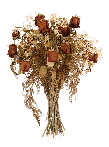 A bouquet of a dozen of dried wilted red roses with baby breath isolated on white.