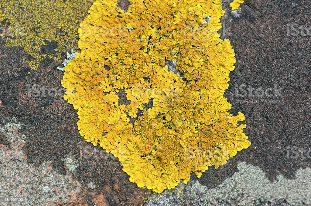 Dried Xanthoria parietina on a stone wall stock photo