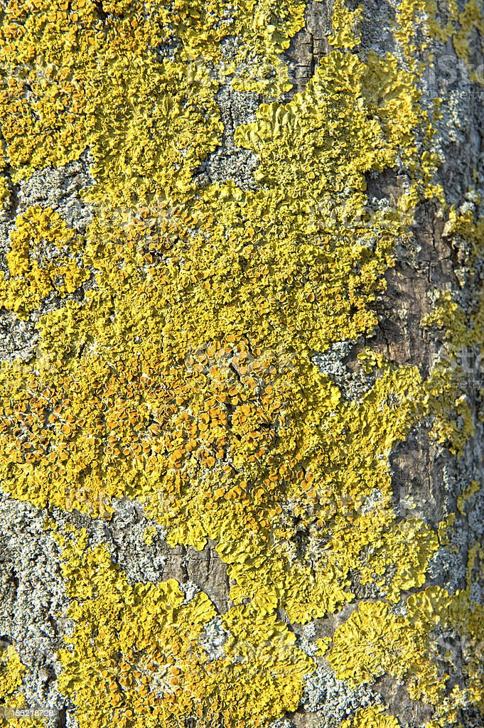 Dried Xanthoria parietina on a tree stock photo