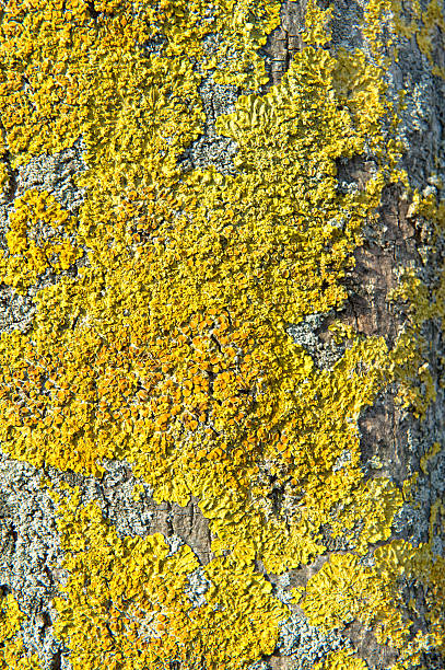 Dried Xanthoria parietina on a tree Yellow Xanthoria parietinaPlease see some similar pictures from my portfolio: slime mold stock pictures, royalty-free photos & images