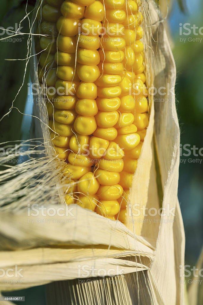 dried yellow corn royalty-free stock photo