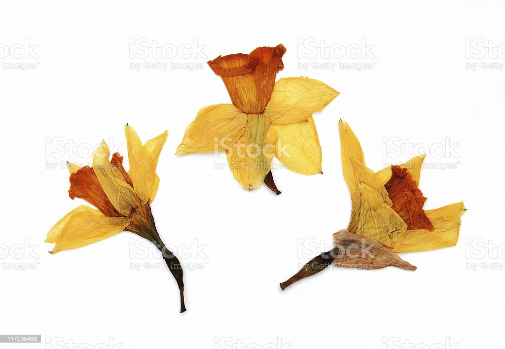 Dried yellow daffodil flowers stock photo