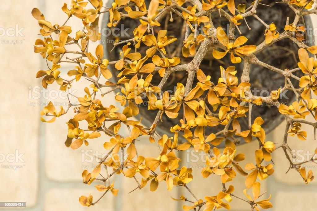 getrocknete gelbe Blätter auf kleine Pflanze im Topf - Lizenzfrei Abgestorbene Pflanze Stock-Foto