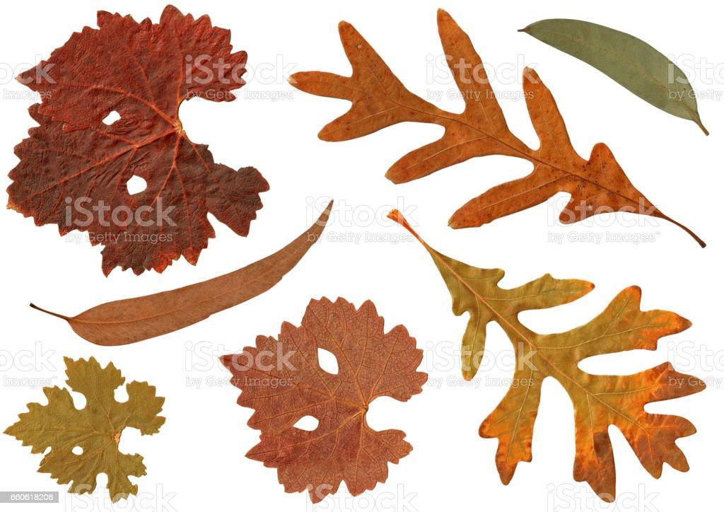 Dried yellow orange brown Autumn leaves of White Oak, Eucalyptus gum tree, Grape royalty-free stock photo